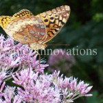 Zerene Fritillary Butterfly | Image 1