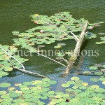 Water Lily Tree