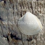 Beach Shell On A Palmetto | Image 1