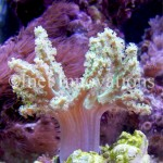 Green Nepthea Coral | Image 2