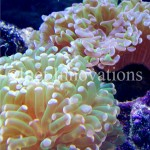 Large Polyp Stony Corals