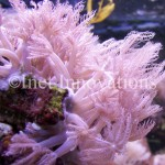 Pink Anthelia Coral | Image 1