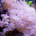 Pink Anthelia Coral | Image 2