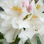 White Rhododendron | Image 3