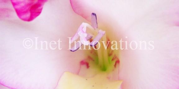 Pink Gladiolus | Image 4